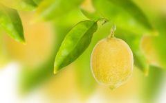 Плод лимона обои