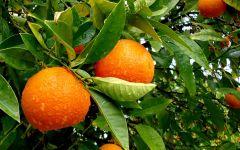 Апельсиновое дерево с плодами