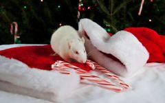 Белая крыса, фотография фото  обои