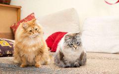 Сибирские кошки фото