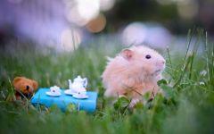 Сирийский хомячок в траве