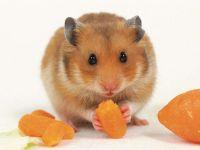 Золотистый хомячок грызет морковку