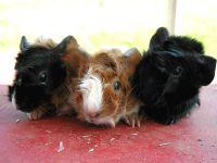 Абиссинские, или розеточные морские свинки
