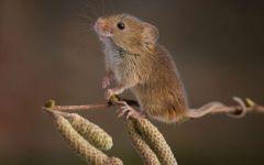 Мышь-малютка на березовой ветке