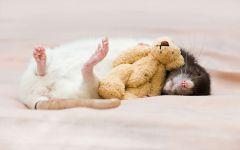 Спящая крыса фото