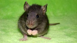 Черный крысенок фото