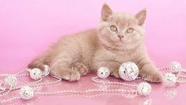 Британский котенок и елочные украшения