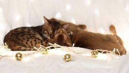 Бенгальская и абиссинская кошки