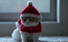 Британская кошка в новогоднем костюме