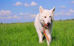 Белая овчарка с игрушкой в зубах