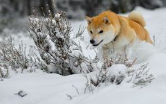 Шиба-ину бежит по снегу