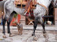 Австралийский хилер и лошадь