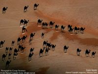 Дикие верблюды, идущие по пустыни. Вид сверху