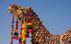 Верблюд в праздничном убранстве