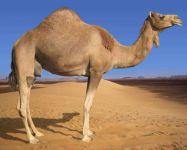 Одногорбый верблюд, дромедар (Camelus dromedarius)