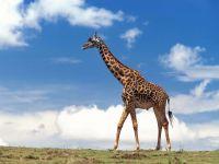 Бродит жираф