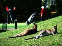 Лежащие на земле кенгуру