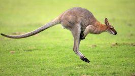 Вид прыгающего кенгуру с боку