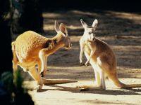 Два рыжих кенгуру