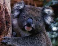 Коала сумчатое животное Австралии
