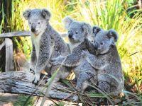 Три медведя коалы