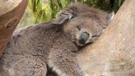 Спящий коала (Phascolarctos cinereus)