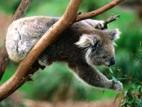Коала поедает листья эвкалипта. Австралия