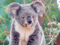 Сумчатый медведь коала (Phascolarctos cinereus)