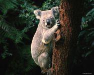 Медведь коала живет в Австралии