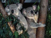 Чем питается коала? Листьями эвкалипта