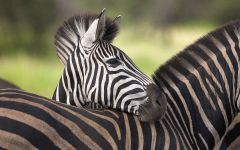 Зебры в национальном парке Крюгер (Южная Африка)