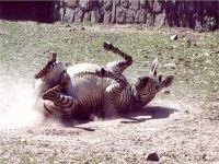 Зебра, валяющаяся в пыли