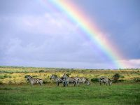 Зебры и радуга