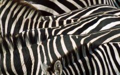 Зебра - это полосатое животное