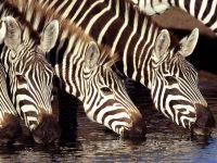 Зебры пьют воду