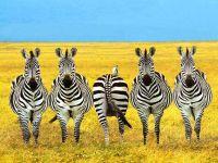 """И среди зебр есть """"белые вороны"""""""