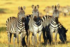 Бурчелловы зебры (Equus quagga) в Кении