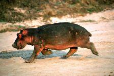 Бегущий бегемот, гиппопотам (Hippopotamus amphibius)