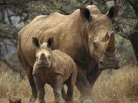 Белые носороги (Ceratotherium simum). Кения, Африка