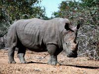 Черный носорог, Индонезия