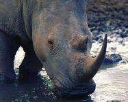 Носорог пьет воду