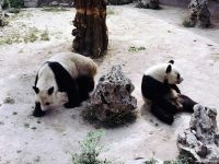 Китайские панды