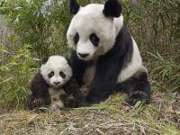 Большая панда с детенышем
