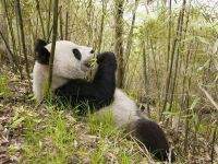 Панда бамбуковый медведь