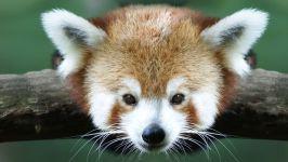 Панда мала малая