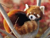 Красная панда (Ailurus fulgens)