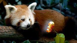 Красная малая панда