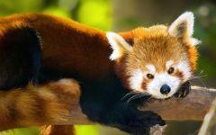 Красная панда википедия