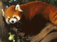 Доклад красная панда