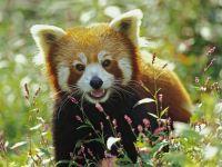 Где живет красная панда?